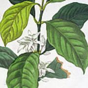 Coffea Arabica Poster