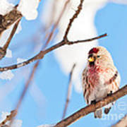 Cold Redpoll Poster