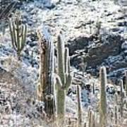 Cold Saguaros Poster
