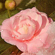Cold Swirled Camellia Poster