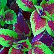 Coleus Color Poster