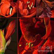 Collage - Amaryllis - Red 01- Elena Yakubovich Poster