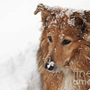 Collie In The Snow Poster