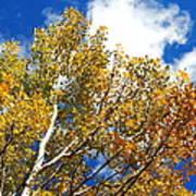 Colorado Aspens And Blue Skies Poster