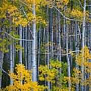 Colorado Fall Color Poster