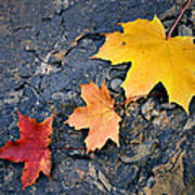 Colored Maple Leaf On Stone Poster