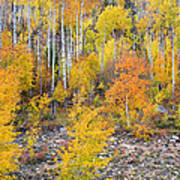 Colorful Autumn Forest In The Canyon Of Cottonwood Pass Poster