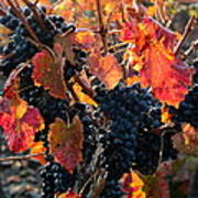 Colorful Autumn Grapes Poster