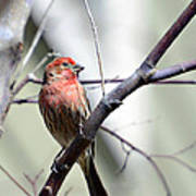 Colorful Bird In Winter Poster by Susan Leggett