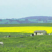 Colorful Canola Field Poster
