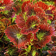 Colorful Coleus Poster