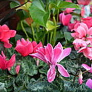Colorful Cyclamen Poster