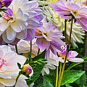 Colorful Dahlia Garden Poster