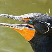 Colorful Double-crested Cormorant Poster