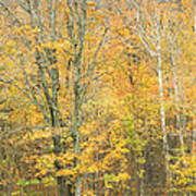 Colorful Fall Trees In Maine Poster