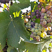 Colorful Grapes Growing On Grapevine Poster