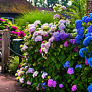 Colorful Hydrangea At The Gate. Giethoorn. Netherlands Poster