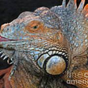 colorful Iguana Poster