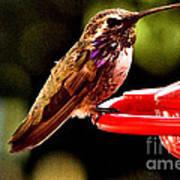 Colorful Juvenile Humingbird Poster