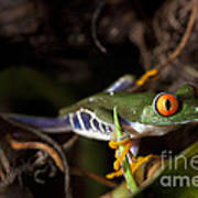 Colorful Red Eyed Tree Frog Poster