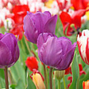 Colorful Spring Tulips Garden Art Prints Poster