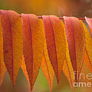 Colorful Sumac Foliage In Fall Poster