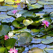 Colorful Water Lily Pond Poster