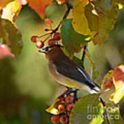 Waxwing In Fall Colors Poster