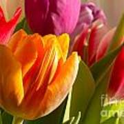Colourful Tulips In Sunlight Poster