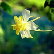 Columbine Flower Poster