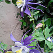 Columbines Exquisite Blooms Poster