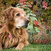 Comanche Autumn - Golden Retriever - Casper Wyoming Poster