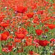 Commemorative Poppies Poster