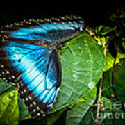 Common Blue Morpho Poster