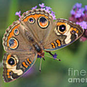 Common Buckeye Butterfly Poster