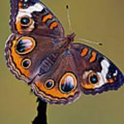 Common Buckeye Precis Coenia Poster