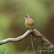 Common Chaffinch Poster