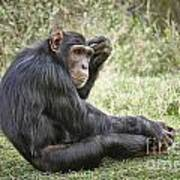Common Chimpanzee  Pan Troglodytes Poster