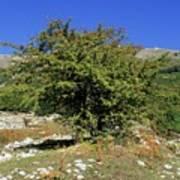 Common Hawthorn (crataegus Monogyna) Poster