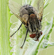 Common House Fly 0.9x Poster
