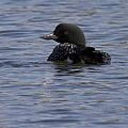 Common Loon 20 Poster