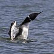Common Loon 75 Poster