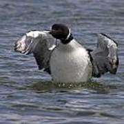 Common Loon 81 Poster