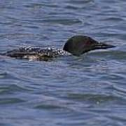 Common Loon 97 Poster