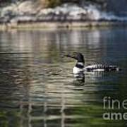 Common Loon On Northern Lake Poster