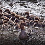 Common Merganser With Chicks Poster