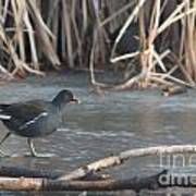 Common Moorhen Iced Lake Poster