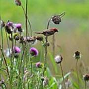 Common Redpoll In A Field Of Thistle Poster