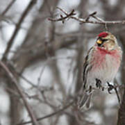 Common Redpoll - Sizerin Flamme - Acanthis Flammea Poster