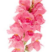 Common Snapdragon Poster